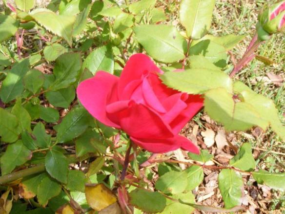 roses42409b