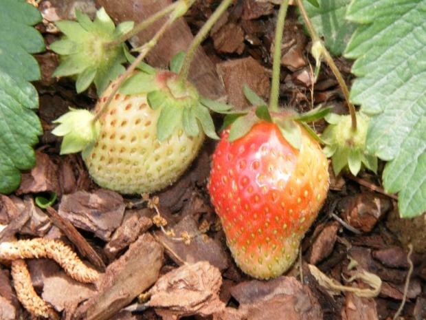 strawberries042409